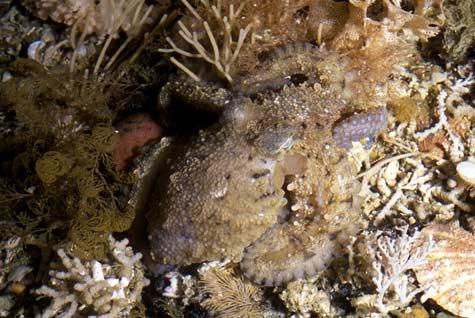 Camouflaged midget octopus