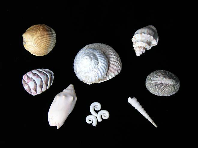 New Zealand shells