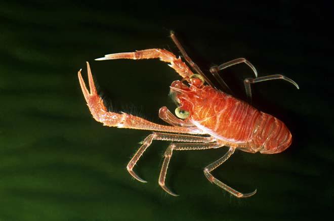 the great crustaceans of maine lobster American lobster temporal range: pleistocene–recent pre.
