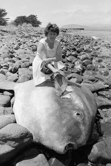 Stranded sunfish