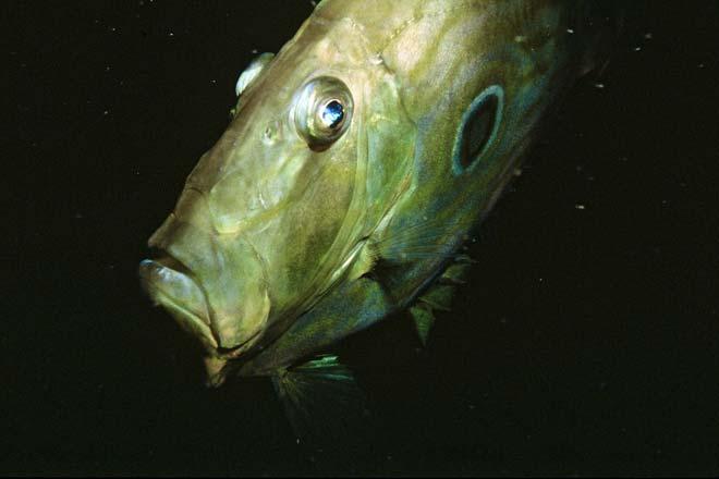 John Dory Coastal Fish Te Ara Encyclopedia Of New Zealand