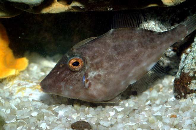 Leatherjacket coastal fish te ara encyclopedia of new for Leather jacket fish