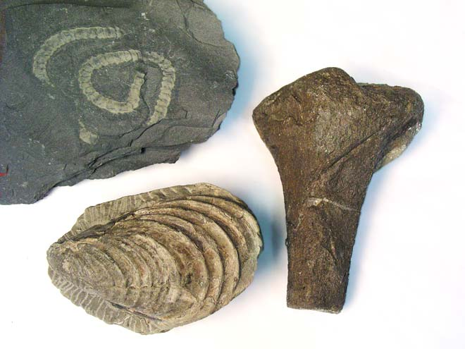 types of fossils with pictures