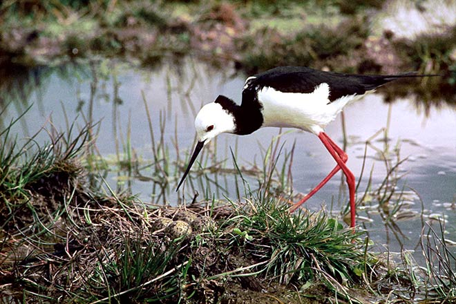Pied stilt with eggs