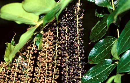 Foliage and flowers of tree tutu