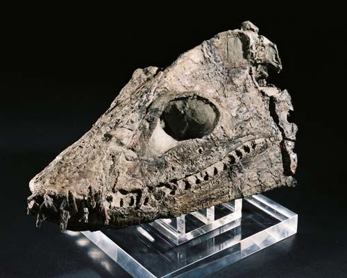 Elasmosaur skull