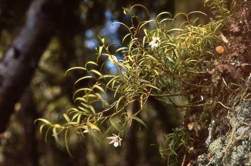 Winika orchid