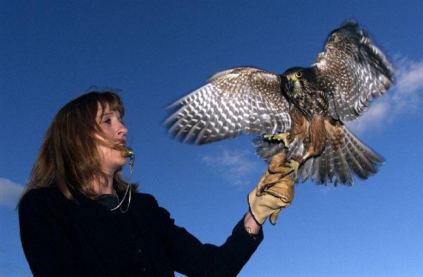 Training a falcon