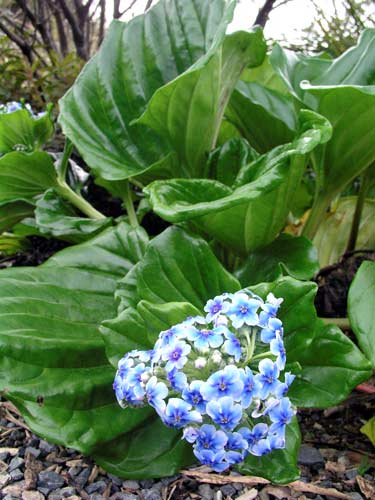 Chatham Island forget-me-not