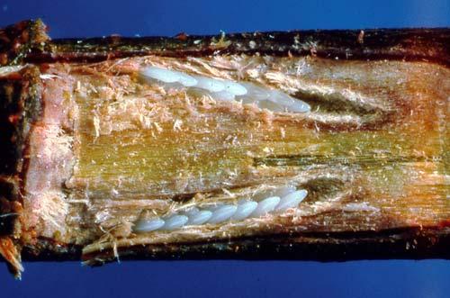 cicada eggs - photo #12