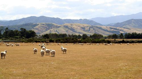 Wairarapa sheep flock