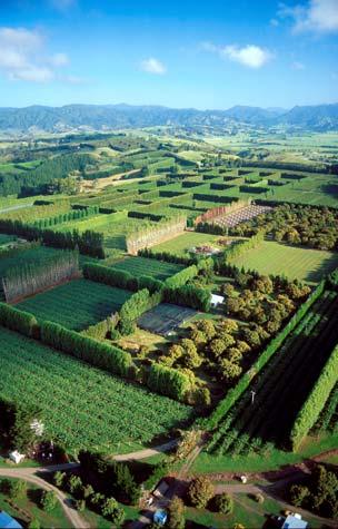 Sheltering kiwifruit orchards