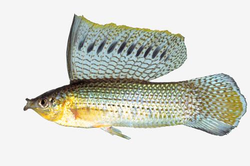Sailfin molly - Coarse fish - Te Ara Encyclopedia of New Zealand