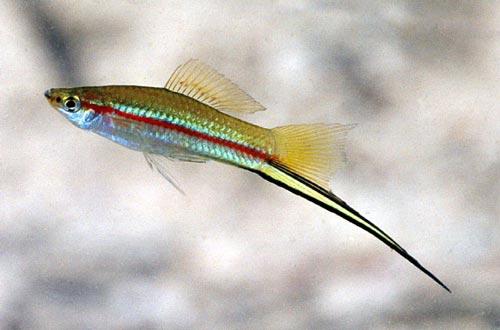 Swordtail - Coarse fish - Te Ara Encyclopedia of New Zealand