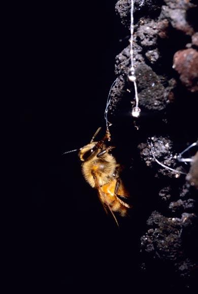 Collecting honeydew