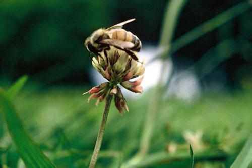 Honeybee on clover