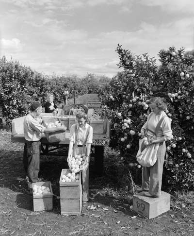 Picking oranges, Kerikeri, 1949