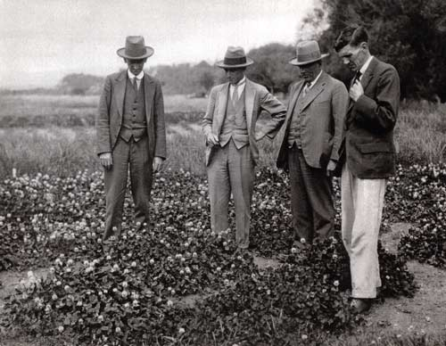 White clover research, 1929