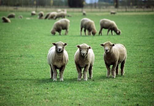 Sheep-grazed pastures