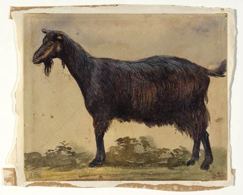'Study of a goat'