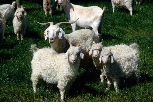 Doe and kid goats
