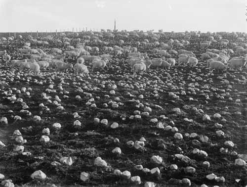 Sheep feeding on swedes