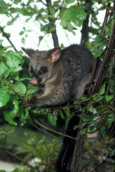 brushtail possum  u2013 possums  u2013 te ara encyclopedia of new