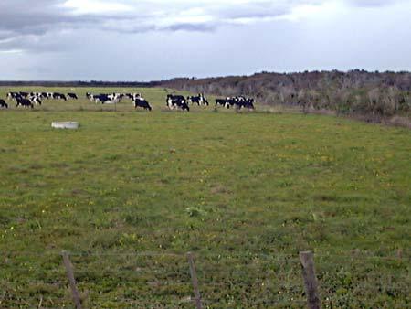 Dairying on peat soils