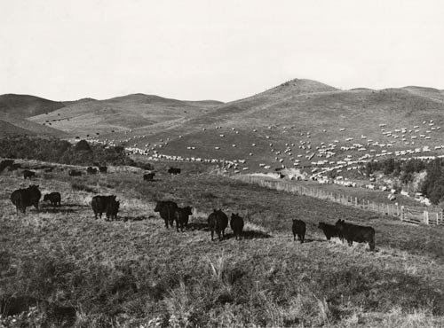 Sheep and cattle on easy hill country