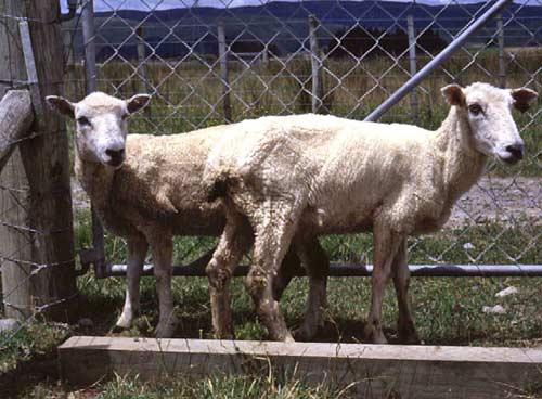 Q Disease Cattle Google Images