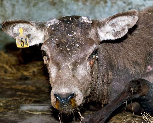 Q Disease Cattle Herpesviridae