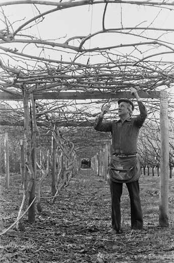 Pergola frames – Kiwifruit – Te Ara Encyclopedia of New Zealand