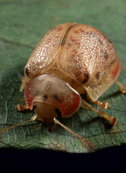 eucalyptus tortoise beetle  u2013 insect pests of crops