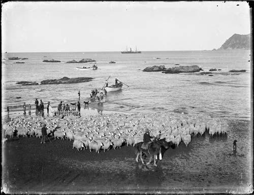 Shipping sheep, Waipiro Bay