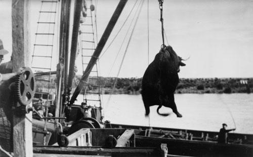 Loading a bullock, Foxton