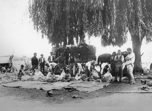Māori shearing gang
