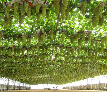 Export-quality table grapes