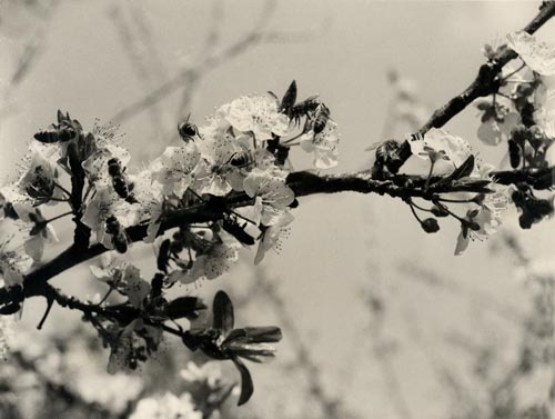 Sugared plum blossoms