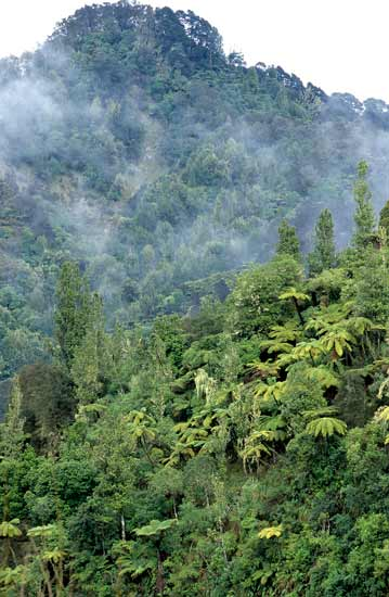 Native forest, Whanganui National Park