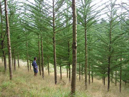 Macrocarpa plantation