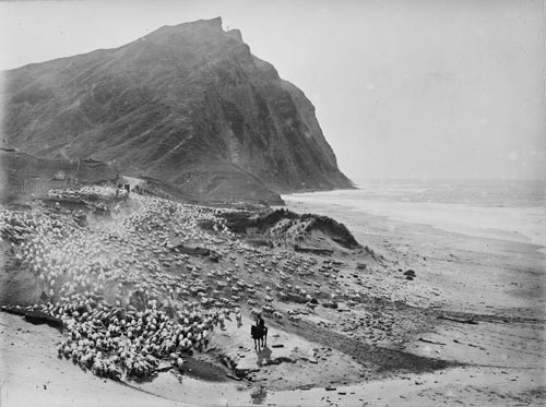Sheep droving at Waihau Bay