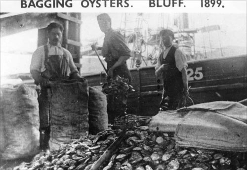 Bagging Bluff oysters