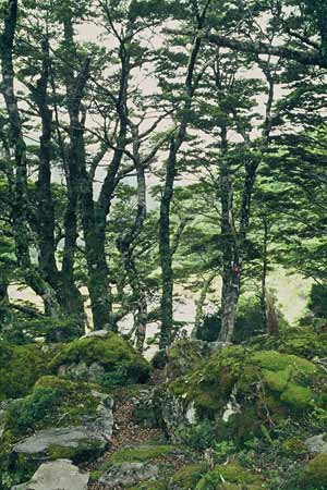 Beech forest, Arthur's Pass National Park