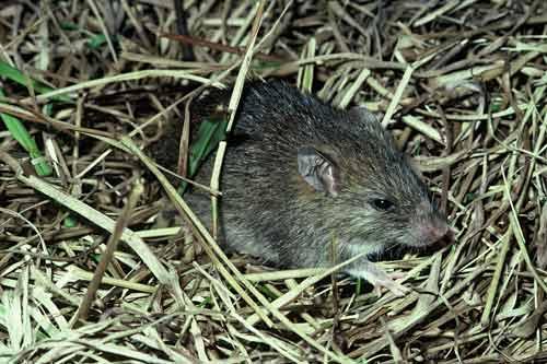 The Pacific rat