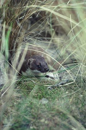 Male stoat hiding in tussock