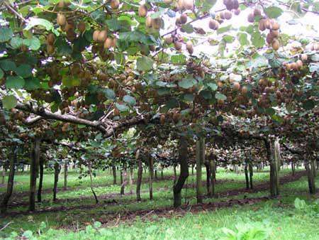 Kiwifruit orchard, Bay of Plenty