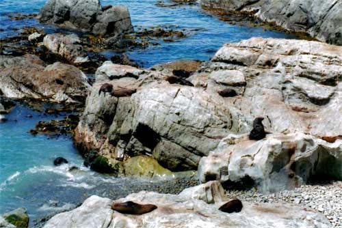 Seals at Kaikōura