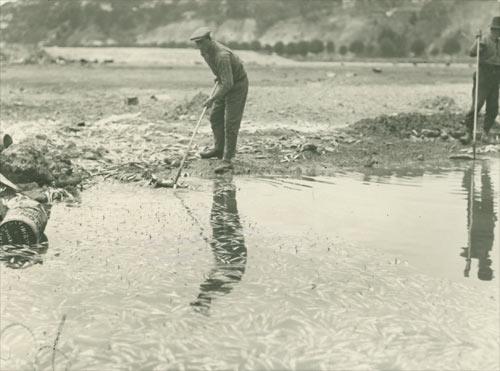 Dead fish, Ahuriri Lagoon