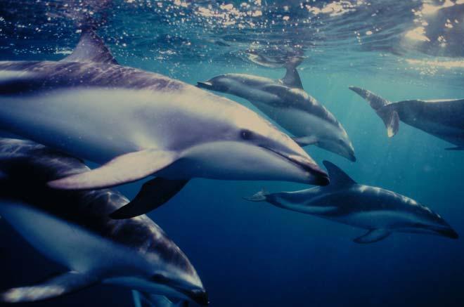 Pod of dusky dolphins