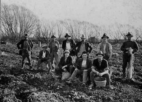 Potato pickers, South Canterbury